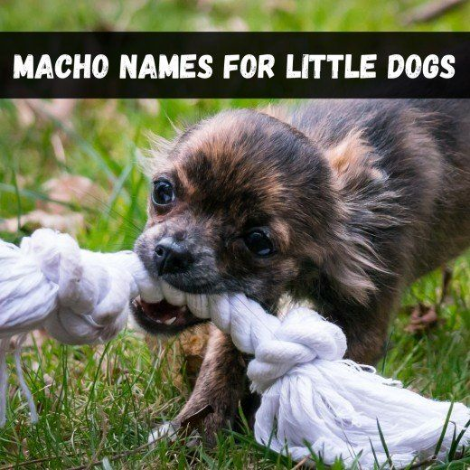 Macho Dog Names For Male Chihuahuas Maltese And Other Tiny Japanese Dog Names Female And Male Names For Your Puppy 50 Fashion In In 2020 Japanese Dogs Dogs Dog Names