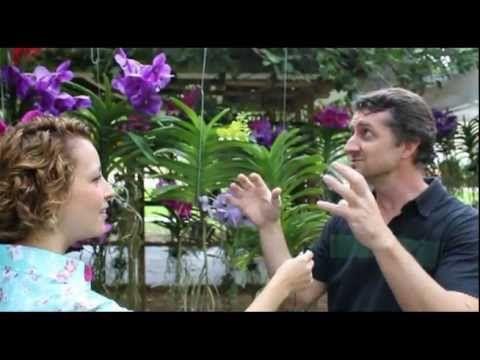 Como Cuidar de Orquídeas - Vanda, a orquídea gigante