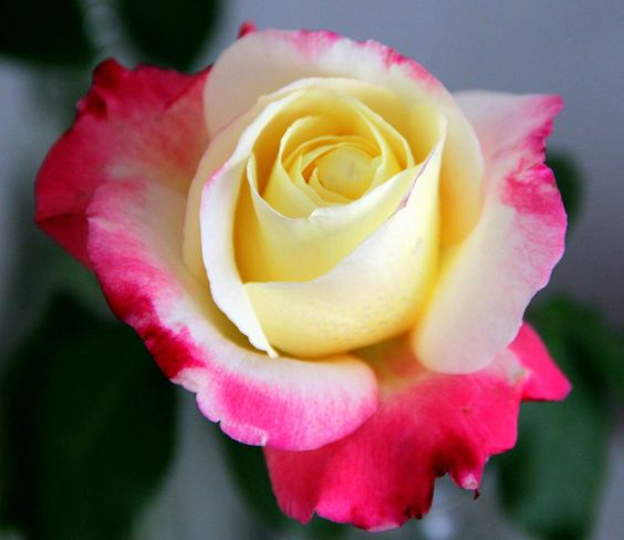 Colourful rose by Deepak Amembal on 500px