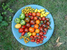 Alte Tomatensorten anbauen und vermehren - ein Erfahrungsbericht
