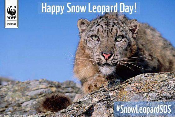 Snow leopard day