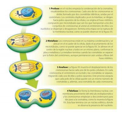 Fases de una célula