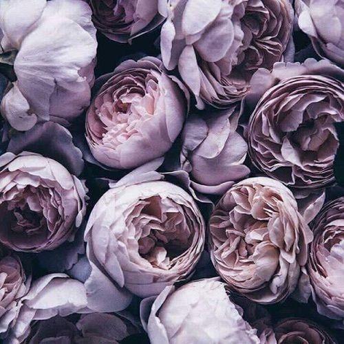 Lavender Peonies flower flowers floral peonies flower pictures