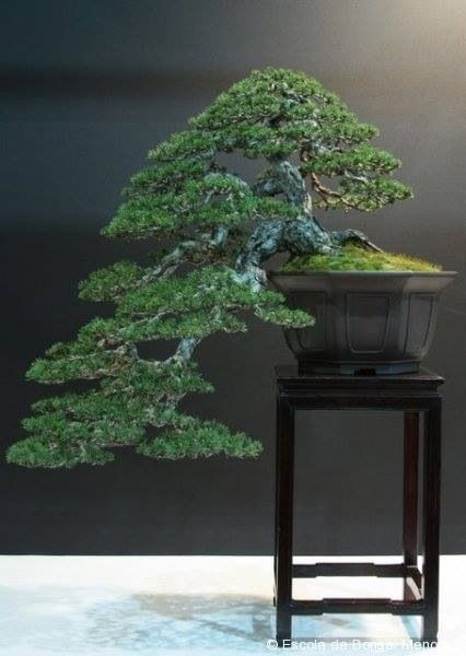 """Pine bonsai """"Repinned by Keva xo""""."""