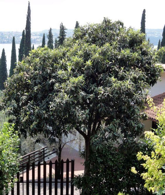 Die Immergrüne Magnolie (Magnolia grandiflora) ist ein Geheimtip für sonnig-warme, sehr geschützte Innenhöfe.