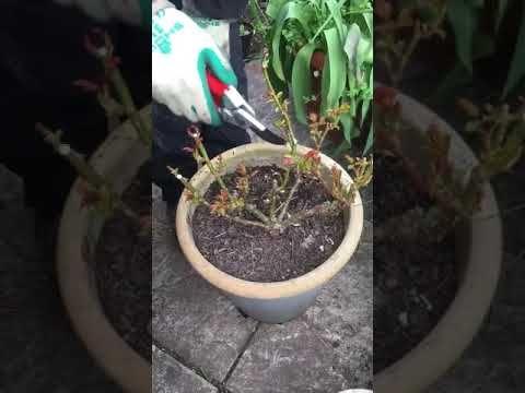 Pruning A Rose Youtube Prune Rose Gardening Tips