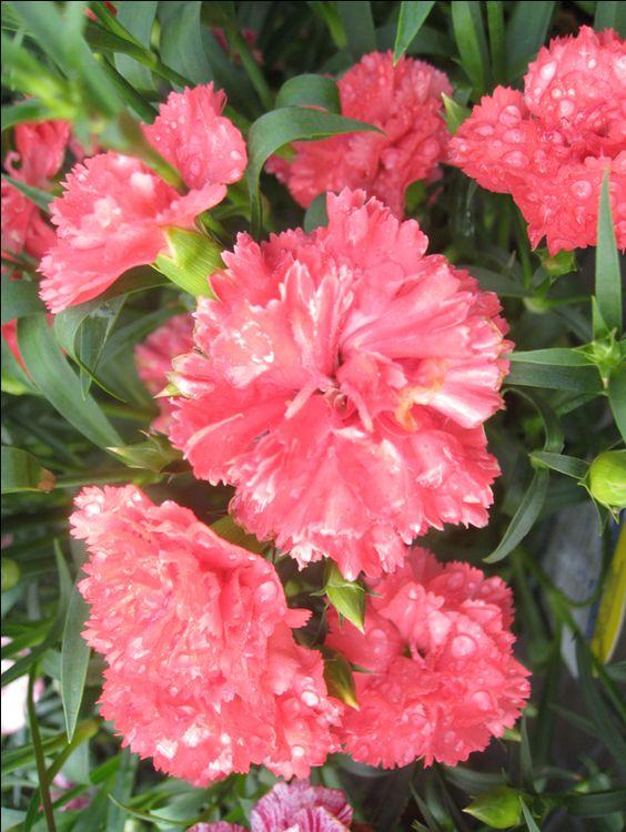 OnlinePlantGuide.com 14824 Scientific Name:Dianthus caryophyllus 'Garden Spice' Common Name:Garden Spice Carnation Leaf Type:Broadleaf