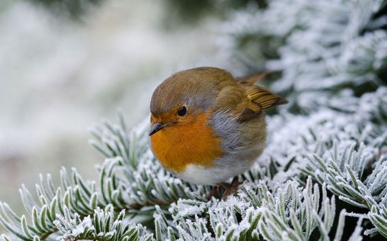 A robin perches on snow-covered branches.