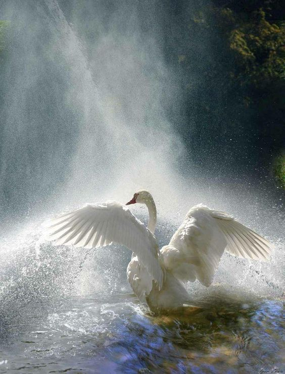 "Beautiful White Swan in a Waterfall. Pinned or Repinned by ""JacquiandScott"" and ""Jacqueline Hyland."" Come Follow Us. With over 500 Boards and 100K Pins and Gifs, We're a ""Must-See"" Collection on Pinterest & We Love {{Our Followers}} Big Hopeful Hugs, From JacquiandScott, and JacquelineHyland, Your Newest Pin-Pals, and the Last Line is Reserved for The Previous Pinner -"