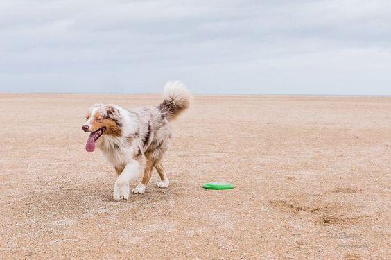 Beach time #australian #shepherd @yummypets