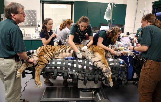 #TigerSurgery