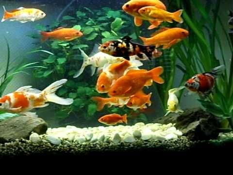 Beautiful goldfish tank aquariums fish tanks ponds for Koi fish aquarium