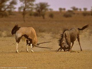 06380-01517 Blue Wildebeest (Connochaetes taurinus) and Gemsbok (Oryx gazella)…