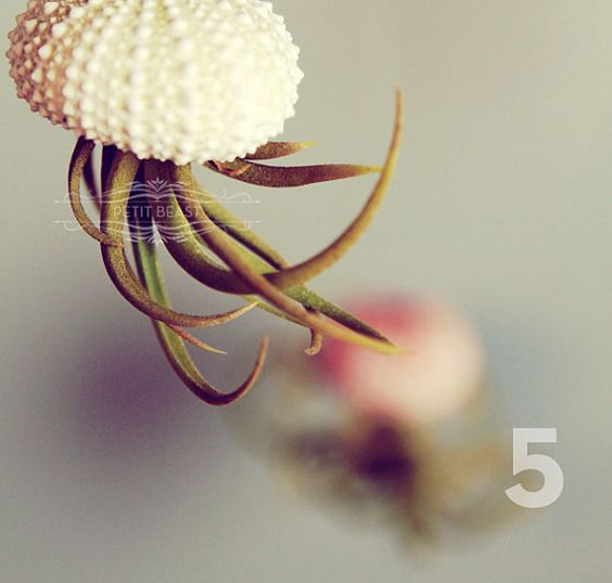 Five Jellyfish // Air Plants and Sea Urchins Hanging by PetitBeast, $35.00