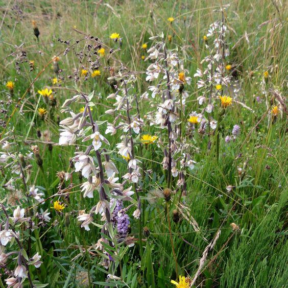 Die Sumpf-Stendelwurz (Epipactis palustris) gehört zu den robusteren heimischen Orchideen und ist eine interessante Option für den Teichrand.
