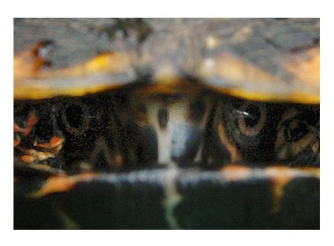 Box turtle staring contest - Howie Guja