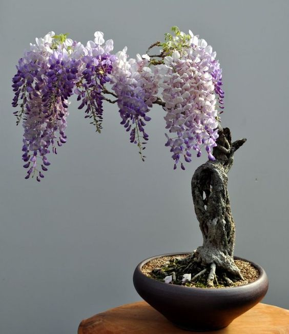 Bonsai Wisteria. i really love these plants, maybe one for the home?: