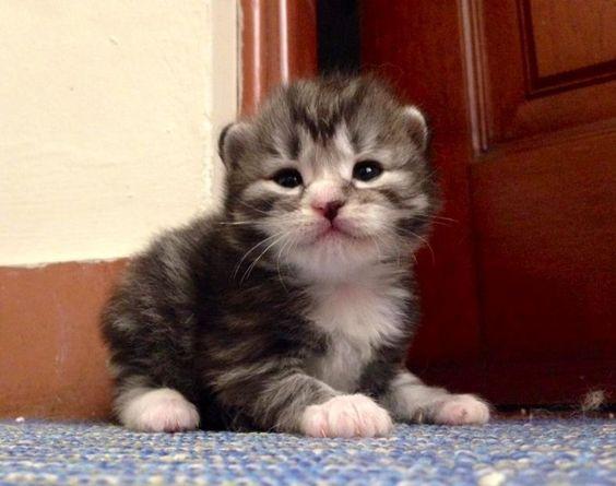 Lennon gatito siberiano