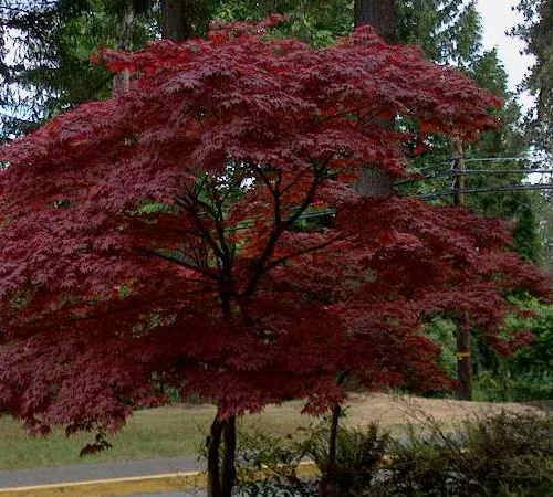 We Are Going To Plant This Japanese Blood Good Maple For