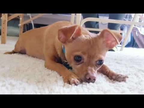Dinky The Chiweenie Puppy Dog Eyes Youtube Puppy Dog