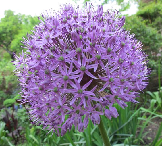 Allium in Bloom #allium #flower