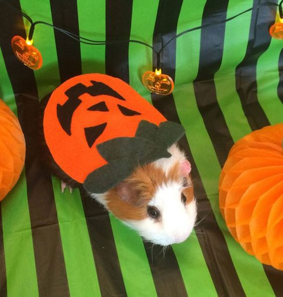 Halloween Costumes for Guinea Pigs | PEOPLE.com