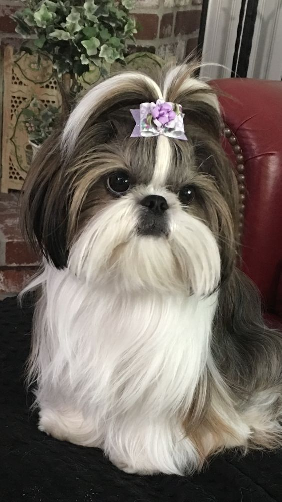 Here Are Some Great Shih Tzu Names In Case You Happen To Be Looking For Names Fo In 2020 Shih Tzu Puppy Shih Tzu Dog Dog Haircuts