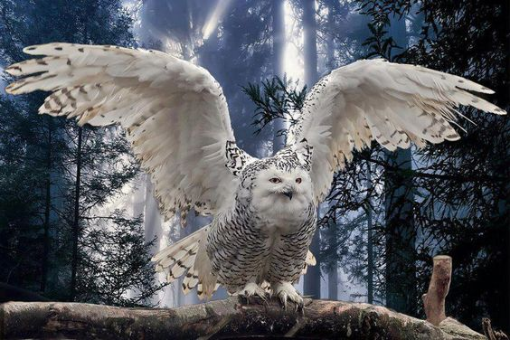 Snowy Owl with wings spread. Great photo.