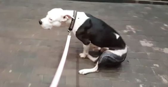 Dog With Severely Broken Legs Was Dropped Off At The Vet, Then Her Owners Never Came Back For Her - http://zogdaily.com/dog-severely-broken-legs-dropped-off-vet-owners-never-came-back/