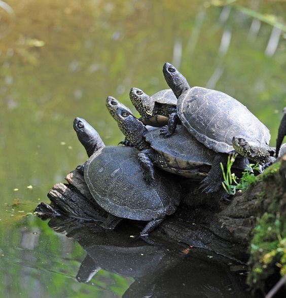 Turtles, Oasi di Sant'Alessio, Pavia