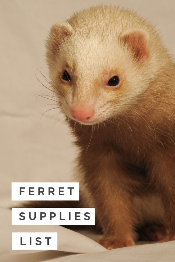 Ferret Supplies List What Do You Need For A New Ferret Are