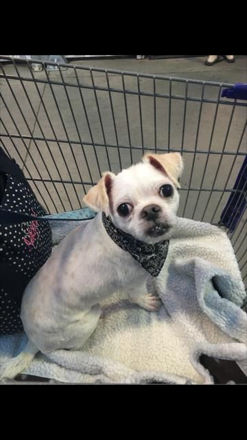 Jack is an adoptable Shih Tzu searching for a forever family near Scott Depot…