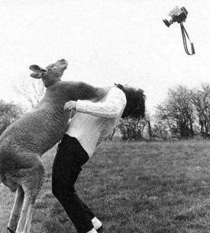 kangaroo v photographer