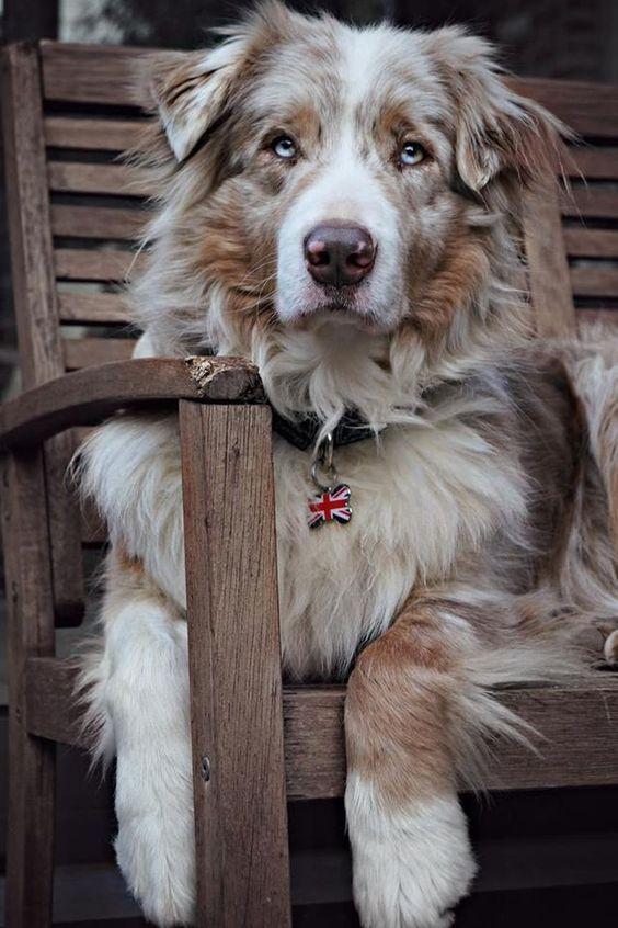 Amazing Australian shepherd dog @yummypets