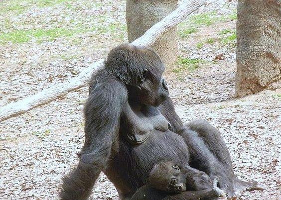 Gorilla Family Greeting Card
