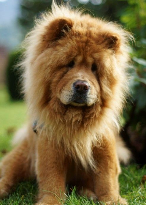 The Lion Haircut For Dogs Is Heating Up Across Social Media And Is