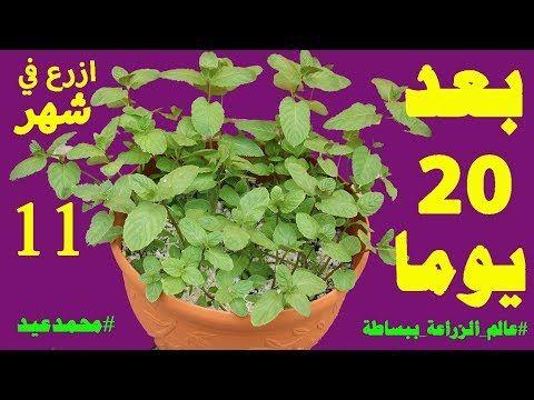 زراعة النعناع من عود نعناع بدون جذور اسهل طريقة لتسميد ورى ورعاية النعناع والنباتات Youtube Plants Herbs