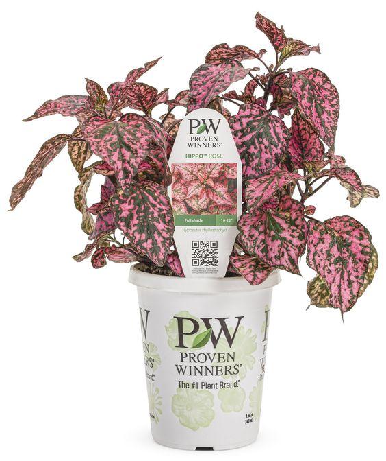 Hippo™ Rose - Polka Dot Plant - Hypoestes phyllostachya