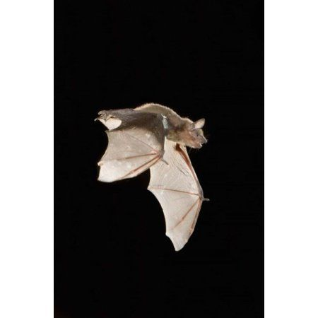 Evening Bat leaving Day roost in tree hole Texas Canvas Art - Rolf Nussbaumer DanitaDelimont (23 x 35)