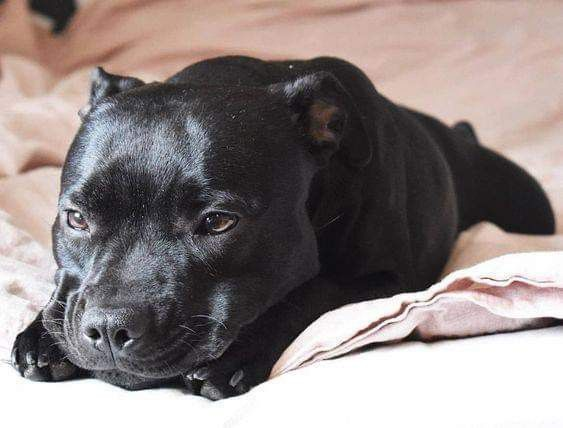 Pin By Heathen Wolf On Pibbles Staffy Dog Black Pitbull Puppies Pitbull Terrier