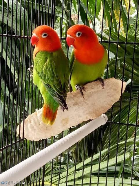 طيور الفيشر وكيفية تربيتها طيور الفيشر وكيفية تربيتها طائر الفيشر أو طائر الحب هو طائر لطيف جدا قد يزيد طول Love Birds Pet Love Birds Pet Birds