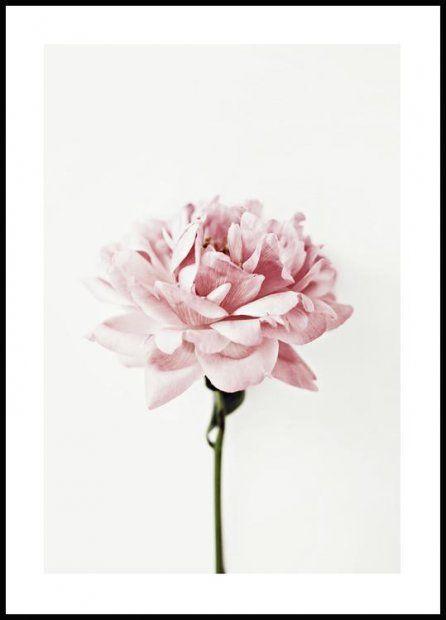 Pink Flower Plakat Lyserode Blomster Botanik Plakater