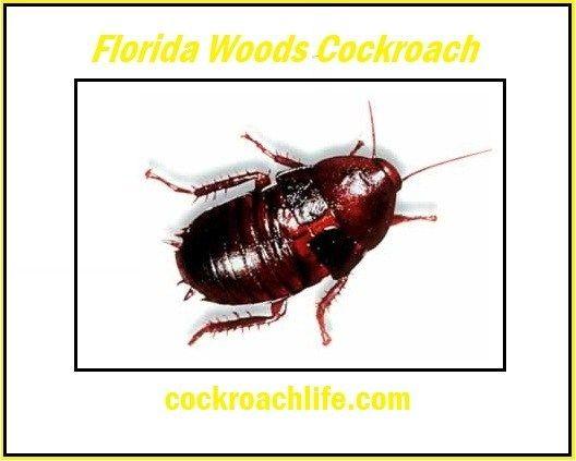 Florida Woods Cockroach Cockroaches Florida Habitats