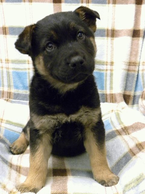 Week old black and tan female rottweiler lab mix i m a chunky sweet