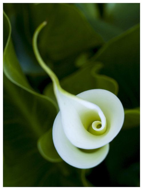 Not sure what species of flower this is...but it looks like a double Calla Lily...