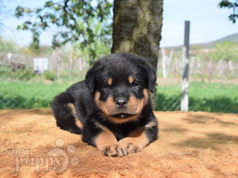 Jumbo Rottweiler Puppy For Sale Rottweiler Puppies Rottweiler