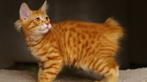 6 Most Common Cat Health Problems American Bobtail Cat Cats