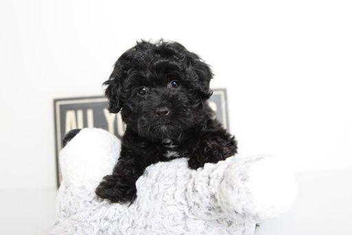 Poovanese Puppy For Sale In Naples Fl Adn 60367 On Puppyfinder Com Gender Female Age 12 Weeks Old Puppies For Sale Havapoo Puppies Puppies