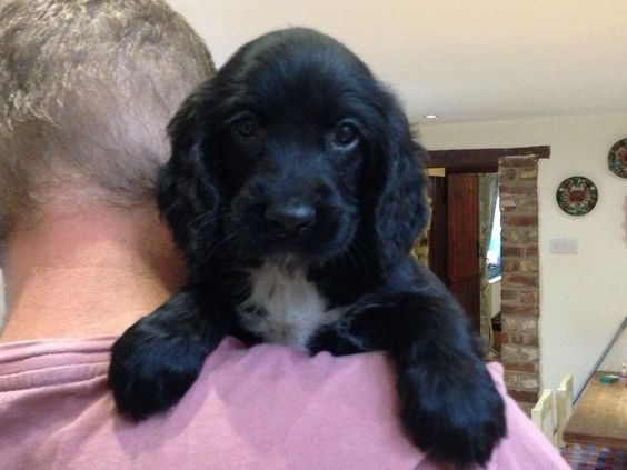 black sprocker puppies - Google Search