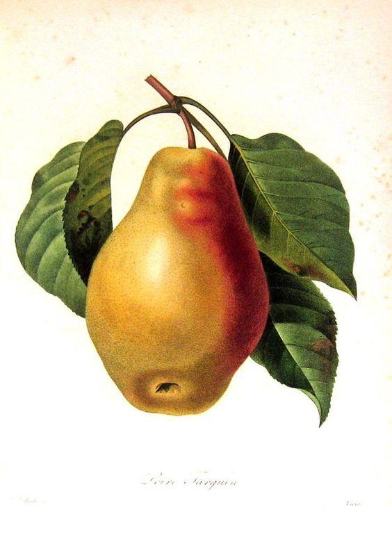 Vintage Pears 6